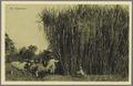 KITLV - 33456 - Kurkdjian, N.V. Photografisch Atelier - Soerabaja - Sugarcane field, Java - circa 1920.tif
