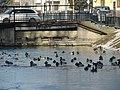 Kačky na Tyršovom nábreží - panoramio.jpg