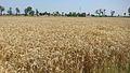 Kala Sha Kaku Wheat Crop.jpg