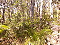 Kalianna Ridge Track as it climbs from Yadboro River to Kalianna Ridge, Budawang National Park 004.jpg