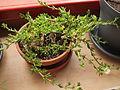 Kanna plant.jpg