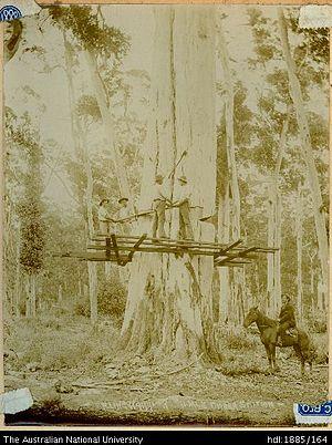 Karridale, Western Australia - Cutting a Karri tree at Karridale. c 1890