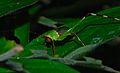 Katydid Nymph (Tettigoniidae) (8678588556).jpg
