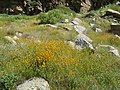 Kern Canyon Wildflowers 01 (2340106321).jpg