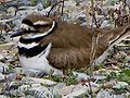 Killdeer (Charadrius vociferus) -female on nest.jpg