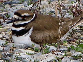Killdeer - A female on a nest in Pennsylvania
