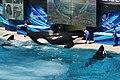 Killer whales @ Ocean Show (8782739759).jpg