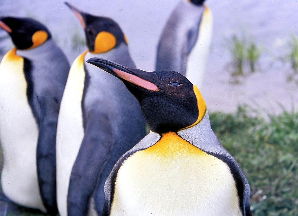 Koningspinguïn - De Grote Vijf van Patagonië