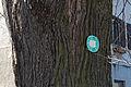 Kirchschlag in der Buckligen Welt - Ungerbach - Naturdenkmal WB-023 - Sommerlinde (Tilia platyphyllos) - II.jpg