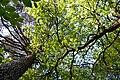 Kivertsi Volynska-Kivertsivska dacha-6 protected tract-look up the trees.jpg