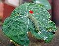 Kleiner Kohlweissling Pieris rapae.jpg
