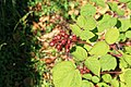 Kluse - Rubus phoenicolasius - Japanische Weinbeere 04 ies.jpg
