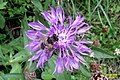 Knapweed and hoverfly (Gru) (31828548792).jpg