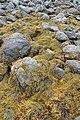 Knotted Wrack (Ascophyllum nodosum) - Lark Harbour, Newfoundland 2019-08-18.jpg