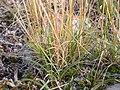 Koeleria macrantha (3811029855).jpg