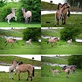 Konik horses. Father learns his son how to fight^^ Meinerswijk nature area in the Rhine river foreland Arnhem - panoramio.jpg