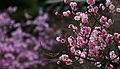 Korea Palace Spring Flowers 13.jpg