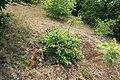 Korina 2016-05-28 Prunus serotina 4.jpg