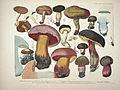 Krombholz mykologische Hefte Taf. 37.jpg