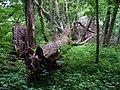Kuří, park západně od vsi, spadlý strom (02).jpg