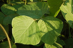 Kudzu - Kudzu leaves near Canton, Georgia
