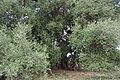 L'olivastro di Sa Tanca Manna (Cuglieri).jpg