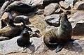 Lachtani na Cape Cross - Namibie - panoramio (8).jpg