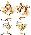 Lacosominae (10.3897-zookeys.815.27335) Figures 18–21.jpg