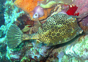 Bienenwaben-Kofferfisch in der Karibik bei Bonaire.
