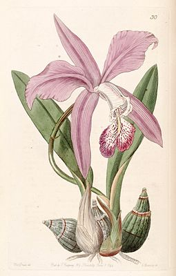 Laelia speciosa (as Laelia majalis) - Edwards vol 30 (NS 7) pl 30 (1844).jpg