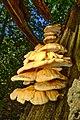 Laetiporus sulphureus - Chicken Of The Woods (50257678276).jpg