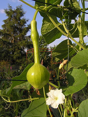 Lagenaria flower fruit.jpg