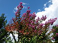 Lagerstroemia indica Parc floral.JPG