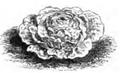 Laitue monte à peine verte à graine noire Vilmorin-Andrieux 1883.png