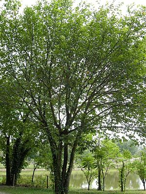 Artocarpus lacucha - Image: Lakoocha tree