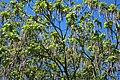 Lamiales - Catalpa bignonioides - 2.jpg