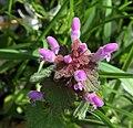 Lamium purpureum east Bohemia 2.jpg