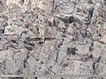Lammergeier (Gypaetus barbatus) (24263900108).jpg