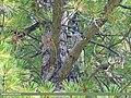 Large-spotted Nutcracker (Nucifraga multipunctata) (39638152041).jpg