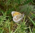 Large Heath. Coenonympha tullia - Flickr - gailhampshire.jpg