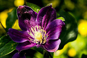 Clematis - Large, dark purple clematis flower with white finger stamens in sunlight