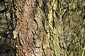 Larix-decidua-03-fws.jpg