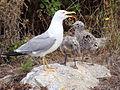Larus michahellis.052 - Islas Cies.JPG