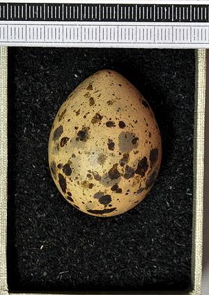 Little gull - Image: Larus minutus MWNH 0340