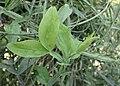Lathyrus latifolius kz01.jpg