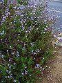 Lavandula canariensis001.jpg