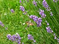 Lawenda. Lawenda wąskolistna. Lawenda lekarska. (Lavandula angustifolia) 02.jpg