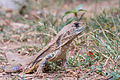 Leiolepis belliana, common butterfly lizard - Khao Sam Roi Yot National Park.jpg