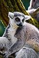 Lemur (26762595707).jpg