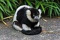 Lemur (36276384073).jpg